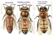 La colonie des abeilles